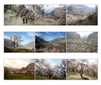 Spring blossom in Hunza