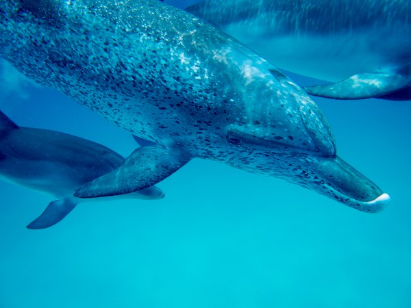 Atlantic dolphins Caribbean off Bimini Island Bahamas Photo Hussain Aga Khan
