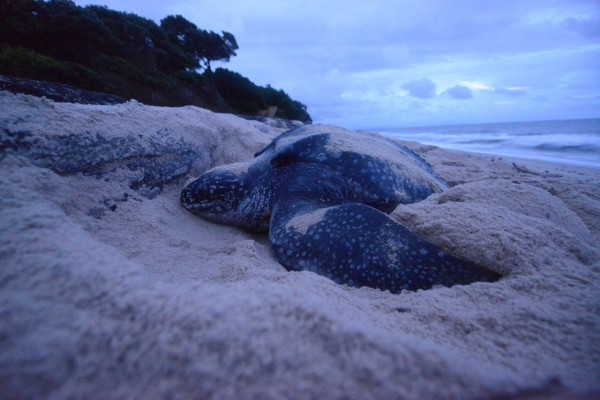 A female leatherback sea turtle digs a nest in the early morning on the beach in Pongara National Park, Gabon, Central Africa. The log at her head stopped her from placing the nest farther up the beach, which will expose her eggs to the tide and waves. Photo by Hussain Aga Khan