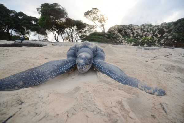 National Geographic features Prince Hussain Aga Khan's Sea Turtle images
