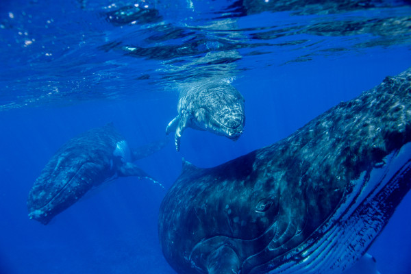 Hussain Aga Khan: 7 Photos of Diving Among Humpbacks in Tonga | National Geographic