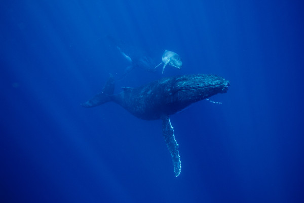 Hussain Aga Khan: 7 Photos of Diving Among Humpbacks in Tonga | National Geographic
