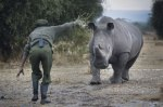 Rhino caretaker Mohammed Doyo gestures to a southern white rhino at Ol Pejeta Conservancy near Nanyuki, some 200km north of the capital Nairobi, Kenya, 18 February 2015. (image credit: New Europe)