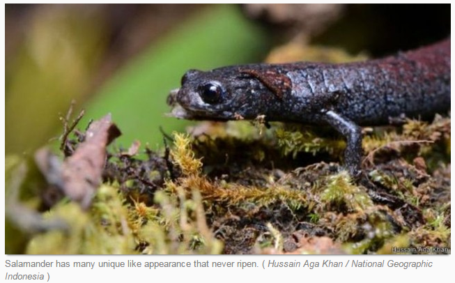 Salamander has many unique like appearance that never ripen. ( Hussain Aga Khan / National Geographic Indonesia )