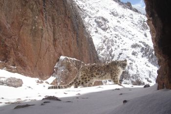 University of Central Asia's Mountain Societies Research Institute Joins Government and International Partners  to Protect Snow Leopard Habitats in the Kyrgyz Republic