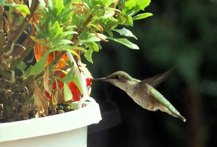 Sultaan's original color photo of humming bird