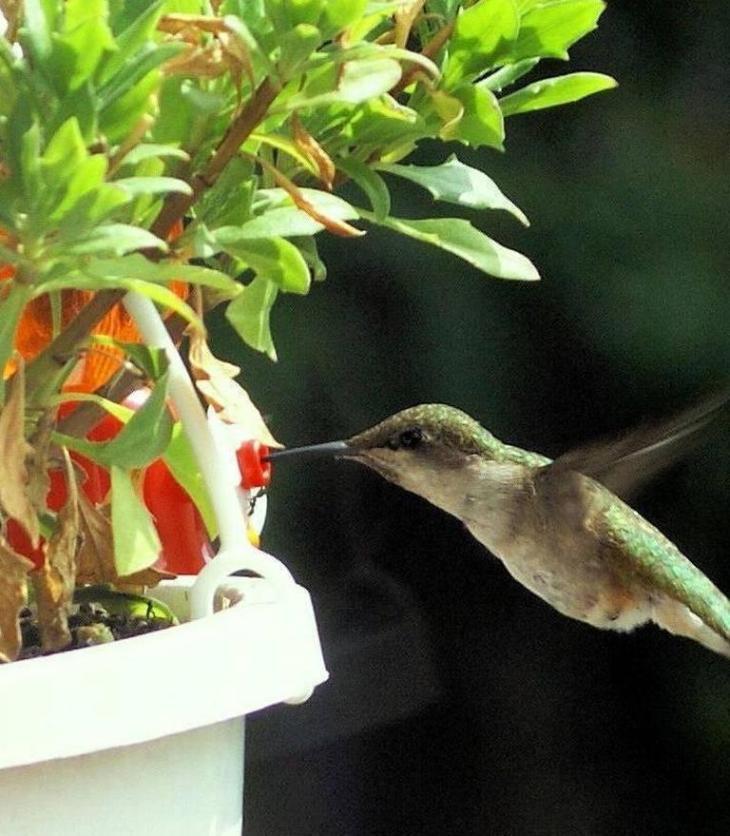 Sultaan's original color photo of humming bird