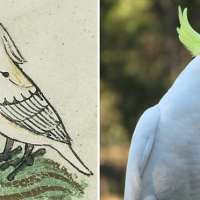 Cockatoo: A gift from Sultan of Egypt: Oldest European depiction of a bird