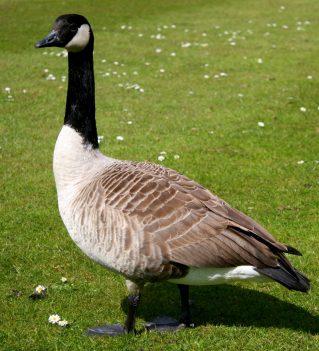 Canada_goose-1454x1600